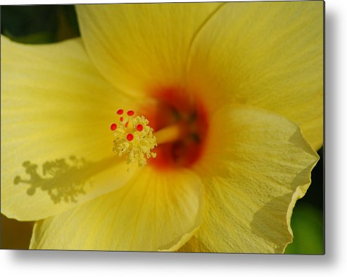 Hibiscus.flower.yellow.garden.canvas.wrap.print.orange.petals.pretty.greeting Card.stem. Metal Print featuring the photograph Hibiscus by Kathy Gibbons