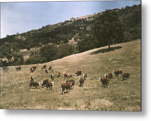 Day Metal Print featuring the photograph In A Pasture Near Pleasanton Hereford by Charles Martin