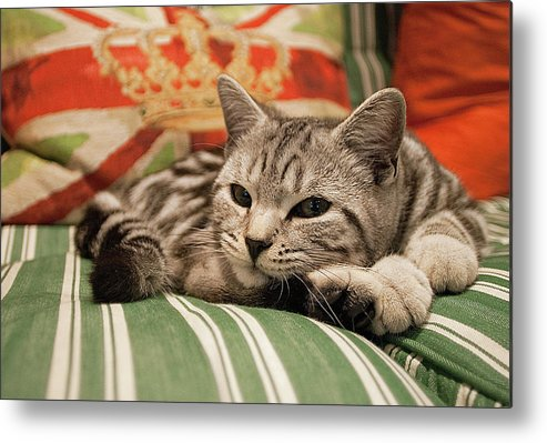 Horizontal Metal Print featuring the photograph Kitten Lying On Striped Couch by Kim Haddon Photography