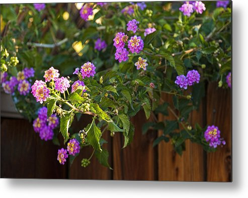 Lantanas Metal Print featuring the photograph Lantanas by Jay Hooker