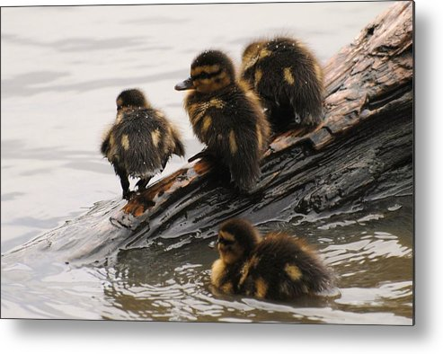 Wildlife Metal Print featuring the photograph Little Rascals by John Blanchard