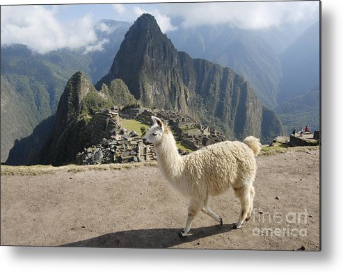 Machu Metal Print featuring the photograph Llama And Machu Picchu by Tomaz Kunst