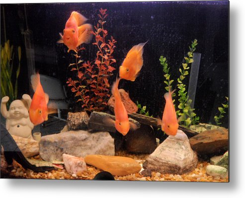 Fish Metal Print featuring the photograph Looking At You by Val Oconnor