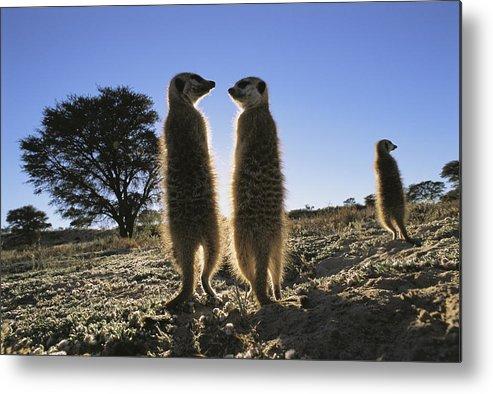 Africa Metal Print featuring the photograph Meerkats Start Each Day With A Sunbath by Mattias Klum