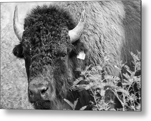 Animals Art Metal Print featuring the photograph Mr Goodnight's Bison by Melany Sarafis