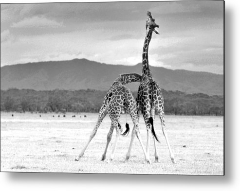 Giraffe Metal Print featuring the photograph Necking by Chris Minihane