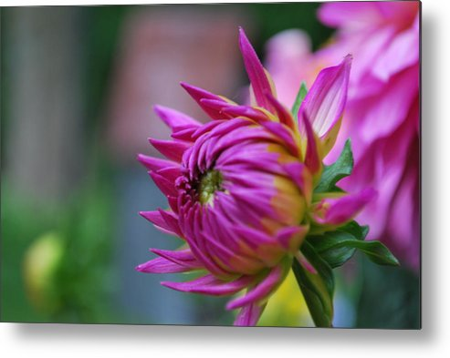 Fuschia Metal Print featuring the photograph Opening Fuschia by Joseph Dafcik