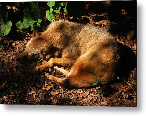 Red Fox Metal Print featuring the photograph Peaceful Slumber by Lori Tambakis