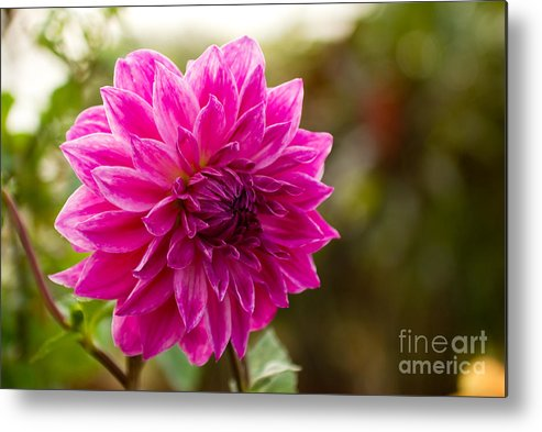 Flower Metal Print featuring the photograph Pink Dahlia by Syed Aqueel