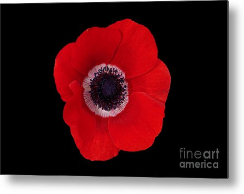 Poppy Metal Print featuring the photograph Poppy by Philip Golan