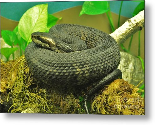Snake Metal Print featuring the photograph Proceed With Caution by George Sylvia