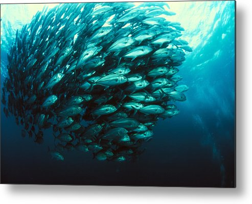 Jackfish Metal Print featuring the photograph Schooling Jackfish by Matthew Oldfield
