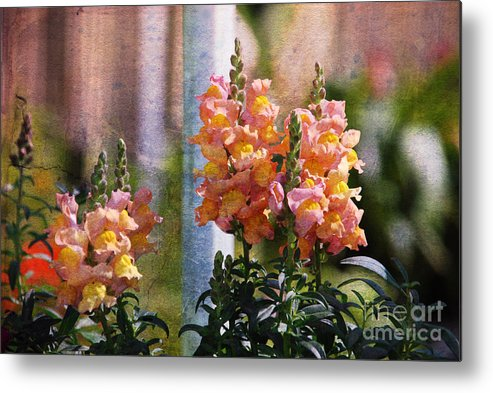 Snapdragons Metal Print featuring the photograph Snapdragons by Susanne Van Hulst