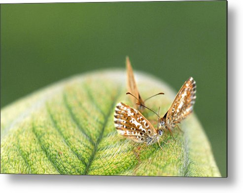 Butterfly Metal Print featuring the photograph Three's Company by Chris Minihane
