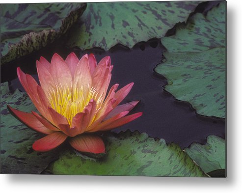 Flower Metal Print featuring the photograph Water Lily by Ralph Fahringer