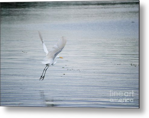 Bird Metal Print featuring the photograph White Egret Flying by Diego Re