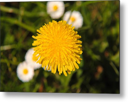 Wild Metal Print featuring the photograph Wild Flower by Fotocrat