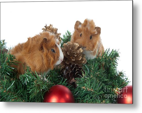 92447bb4d Abyssinian Guinea Pig For Christmas Metal Print by Anthony Totah