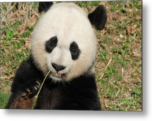 Panda Metal Print featuring the photograph Bamboo Sticking Out Of The Mouth Of A Giant Panda Bear by DejaVu Designs