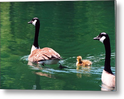 Goose Metal Print featuring the photograph Geese Family by Paul Trunk