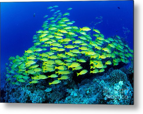 30-pfs0059 Metal Print featuring the photograph Bluestripe Snapper by Dave Fleetham - Printscapes