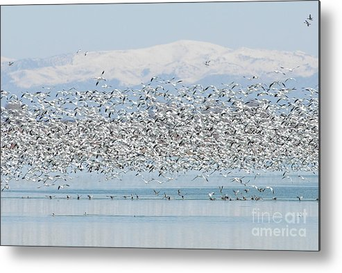 Geese Metal Print featuring the photograph Snow Geese by Dennis Hammer