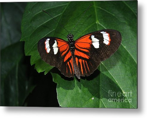 Butterfly Metal Print featuring the photograph Butterfly by Patrick Short