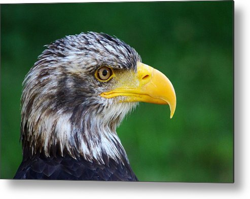 Bird Metal Print featuring the photograph Alder by FL collection