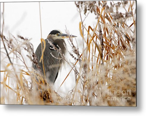 Bird Metal Print featuring the photograph Great Blue Heron by Dennis Hammer