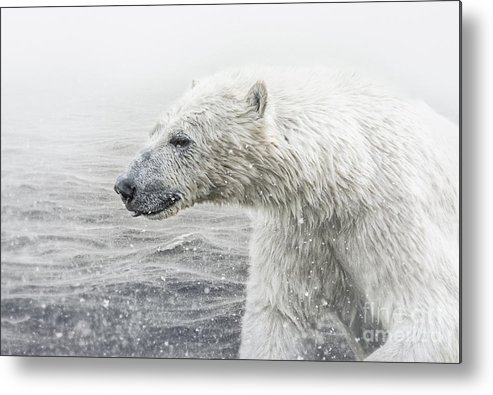 Adult Metal Print featuring the photograph Polar Bear by Shaun Wilkinson