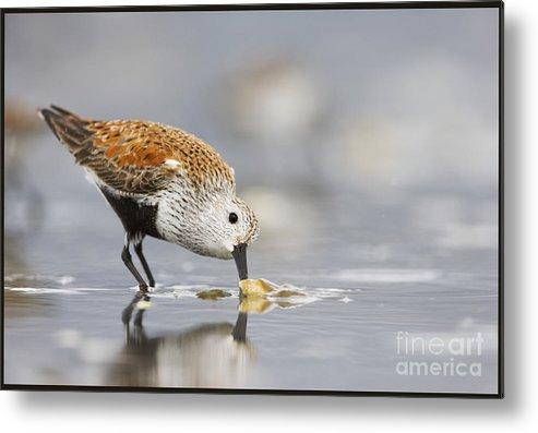 Bird Metal Print featuring the photograph A Feeding Dunlin by Tim Grams
