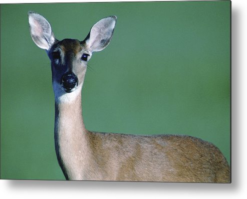 White-tailed Deer Metal Print featuring the photograph A White-tailed Deer On The Prairie by Joel Sartore