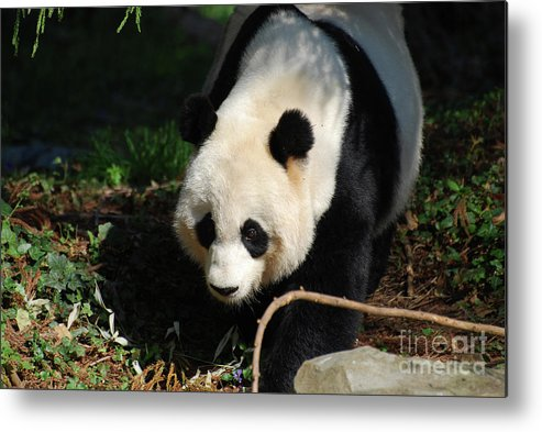Panda Metal Print featuring the photograph Absolutely Beautiful Giant Panda Bear With A Sweet Face by DejaVu Designs