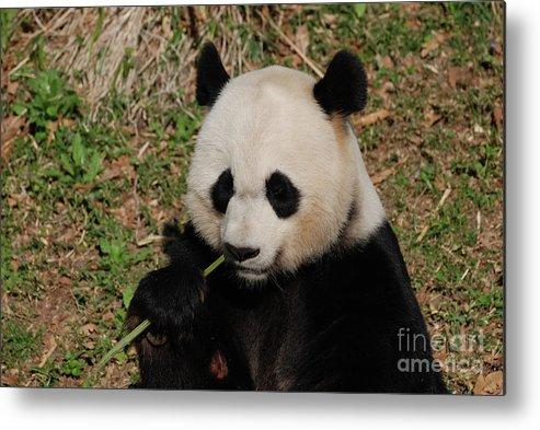 Panda Metal Print featuring the photograph Adorable Giant Panda Eating A Green Shoot Of Bamboo by DejaVu Designs