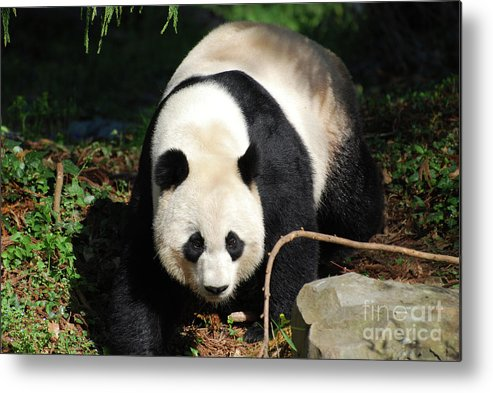Panda Metal Print featuring the photograph Amazing Sweet Chinese Giant Panda Bear Walking Around by DejaVu Designs