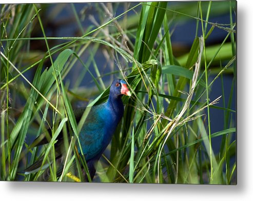Birds Metal Print featuring the photograph American Purple Gallinule by Anthony Knapp