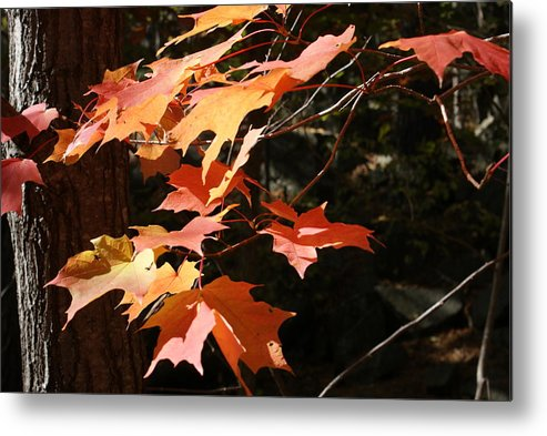 Leaves Metal Print featuring the photograph Autumn Leaves by Ron Read
