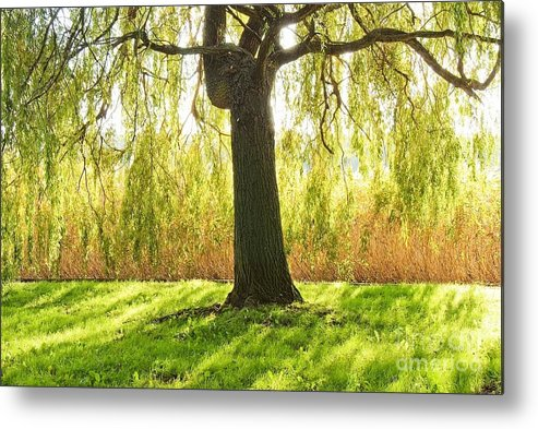 Tree Metal Print featuring the photograph Basking In The Light by Piotr Loza