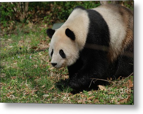 Panda Metal Print featuring the photograph Beautiful Profile Of A Giant Panda Bear Ambling Along by DejaVu Designs