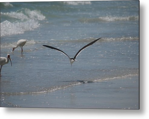 Bird Metal Print featuring the photograph Bird Flying In The Surf 2 by Lisa Gabrius
