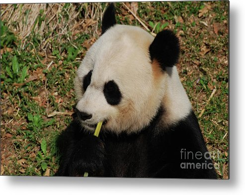 Panda Metal Print featuring the photograph Black And White Panda Bear Eating Green Bamboo Shoots by DejaVu Designs