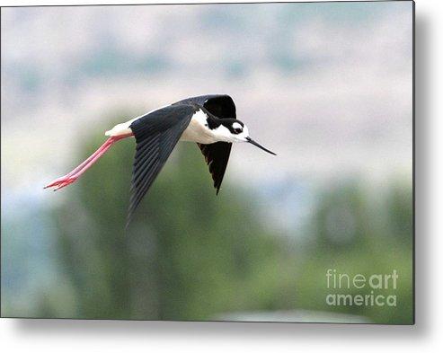 Bird Metal Print featuring the photograph Black Necked Stilt In Flight by Dennis Hammer