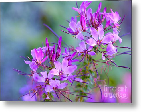 Flower Metal Print featuring the photograph Blooming Phlox by Alana Ranney