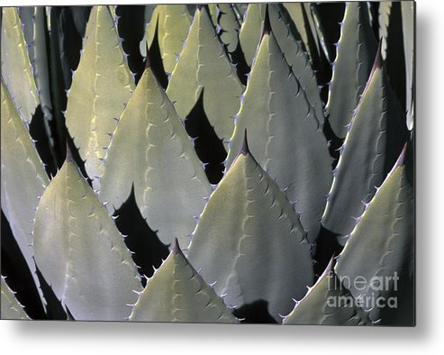 Cactus Metal Print featuring the photograph Blue Agave Cactus by Sandra Bronstein