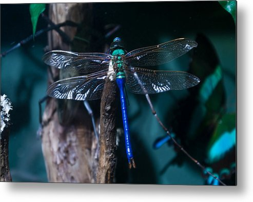 Blue Metal Print featuring the photograph Blue And Green Dragonfly by Douglas Barnett