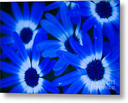 Blue Eye Flower Metal Print featuring the photograph Blue Daisies, Medford Oregon by Tirza Roring