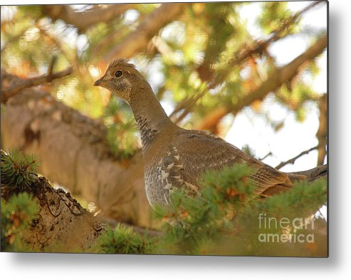 Bird Metal Print featuring the photograph Blue Grouse by Dennis Hammer
