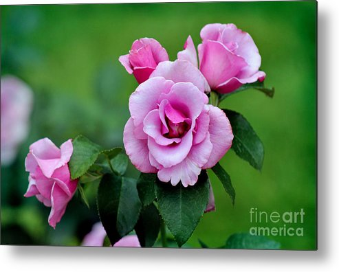 Lavender Metal Print featuring the photograph Blueberry Hill Roses by Karen Adams
