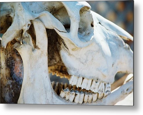 Skull Metal Print featuring the photograph Bovinic Purpose by Jennifer Trone