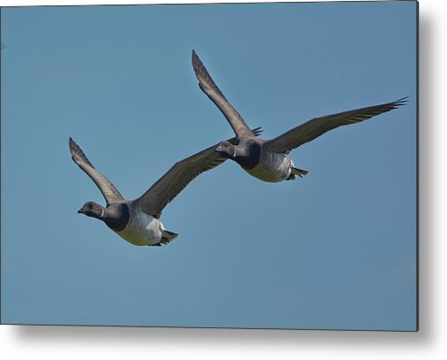 Birds Metal Print featuring the photograph Brent Geese by Paul Hayes